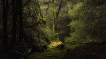Forest Fog Trees Branches Moss 4K HD Wallpaper
