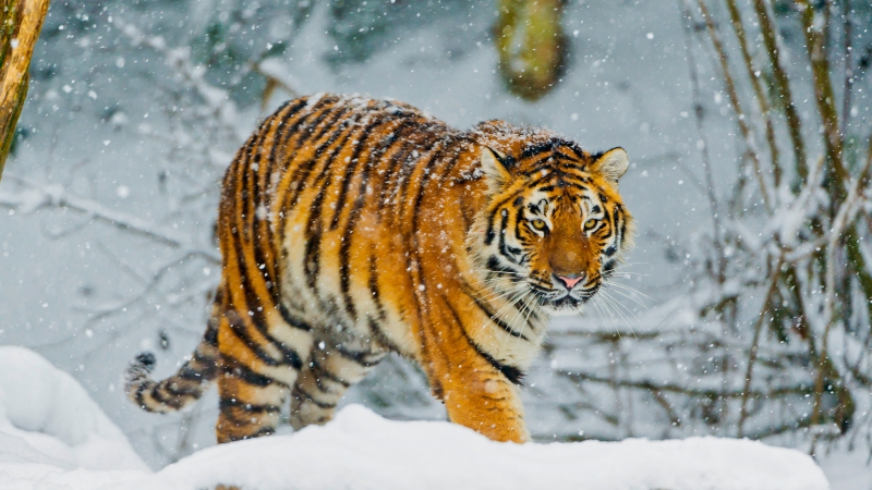 Bengal tiger Snowfall Winter 4K Wallpaper