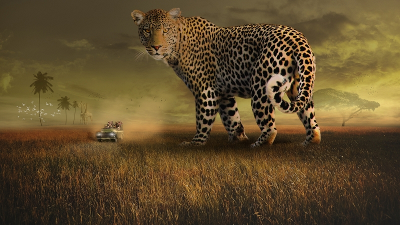 Leopard Safari 4K Wallpaper