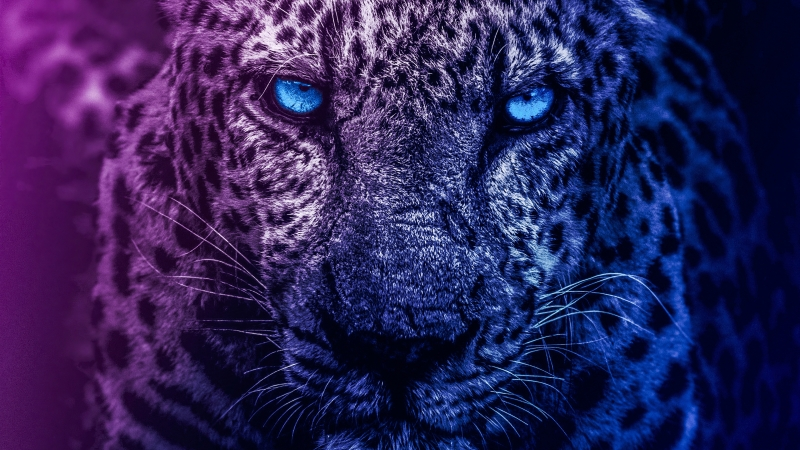 Lion Blue Eyes Wallpaper