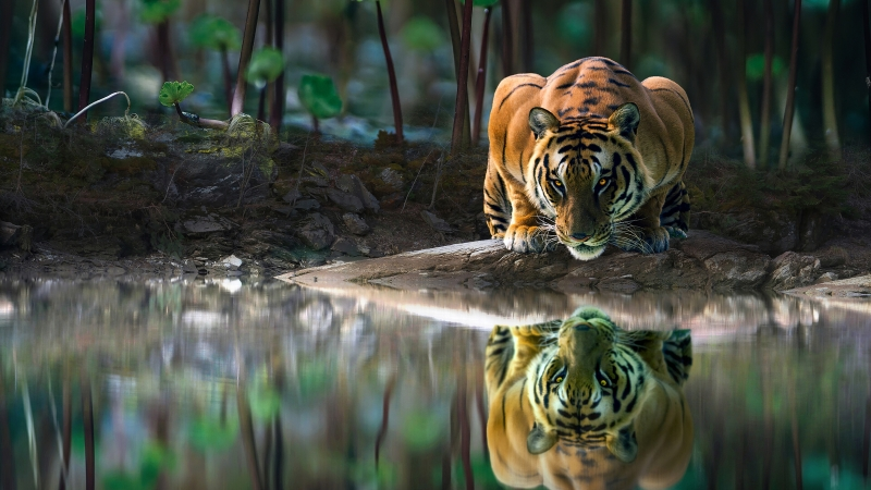 Tiger Glowing Eyes Drinking Water 4k Wallpaper