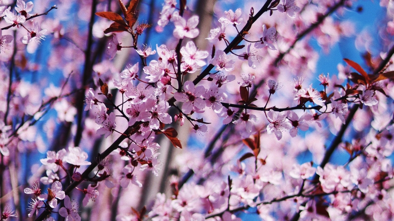 Cherry blossom Spring Flowers 4K Wallpaper