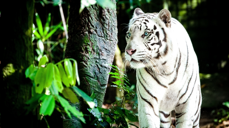 White Tiger 4K Wallpaper
