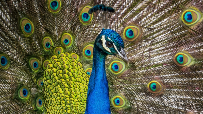 Peafowl Wallpaper