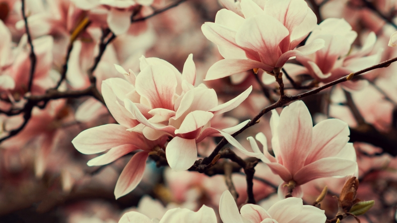 Magnolia Flowers Branches Plant Flowering Spring 4K HD Wallpaper