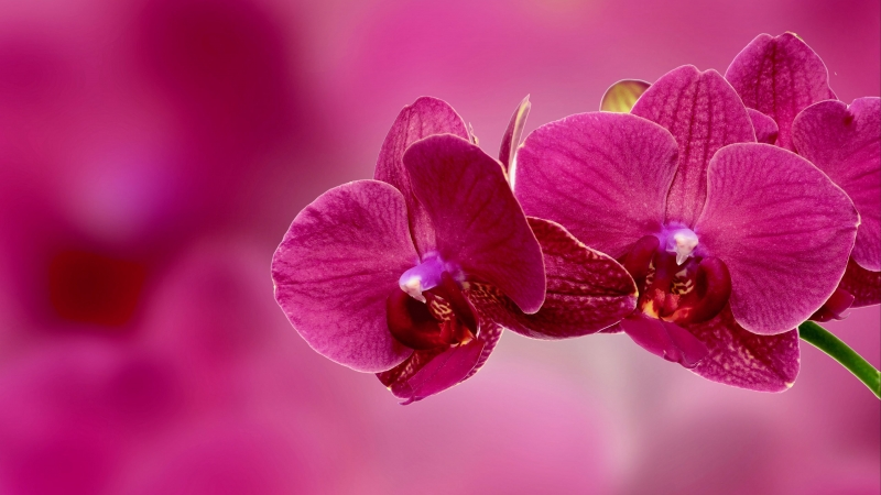 Orchid Flower Petals Pink 4K HD Wallpaper