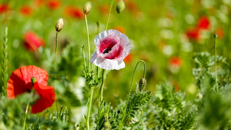 Poppy Garden 4K HD Wallpaper
