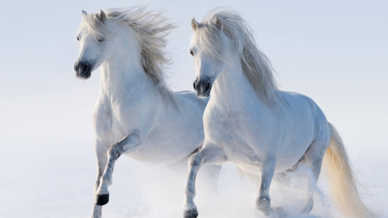 White Twin Horse 4K HD Wallpaper