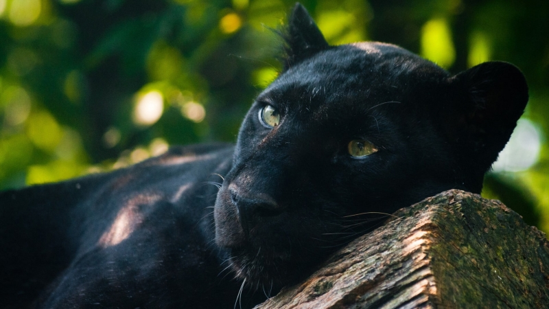 Adult Black Panthers Animals Jaguar Cat 4K HD Wallpaper