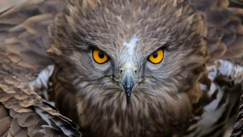 Brown Owl Illustratio Nature Animals Birds Yellow Eyes Feathers 4K HD Wallpaper