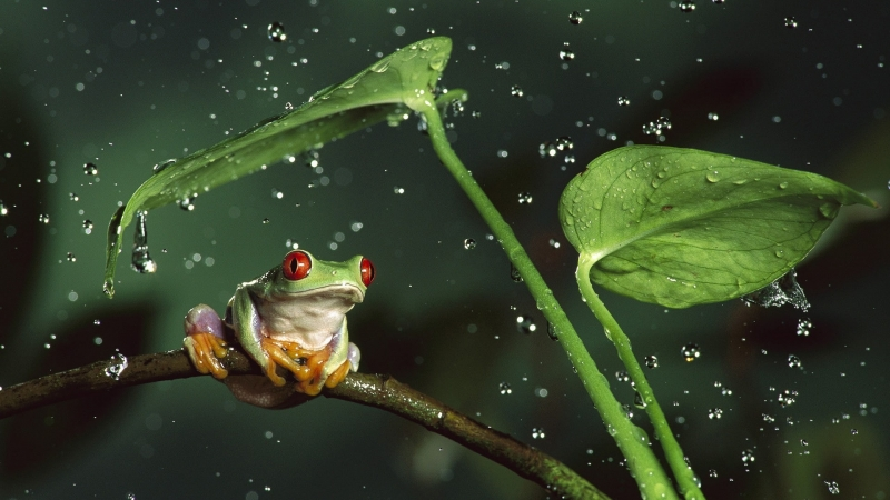 Red Frog Holding Leaf Rain HD Wallpaper