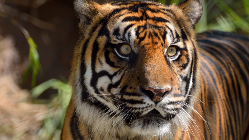 Tiger Eyes 4K 5K HD Wallpaper