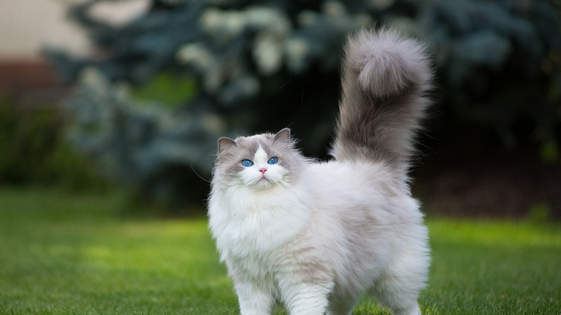 White And Gray Persian Cat Grass Green Blue Eyes 4K HD Wallpaper