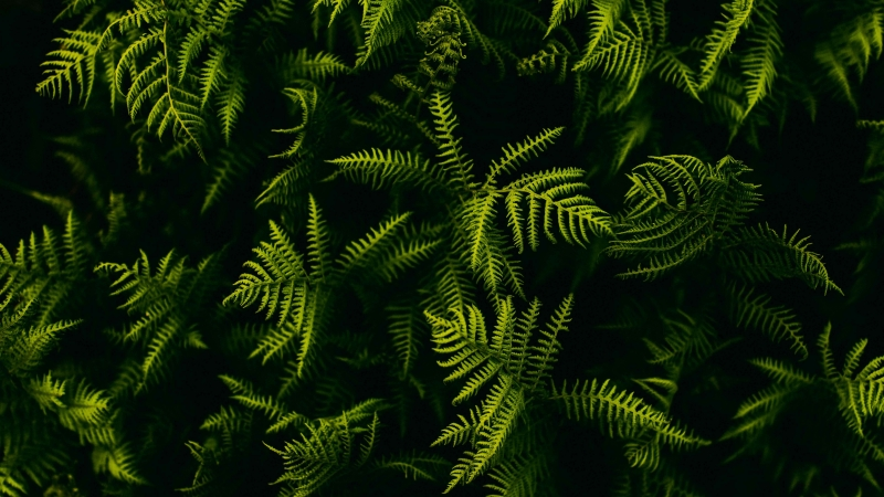 Fern Branches Plant Leaves 4K 5K HD Wallpaper