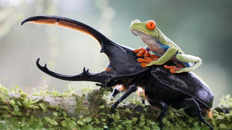 Green Tree Frog On Top Of Elephant Stag Beetle 4K HD Wallpaper