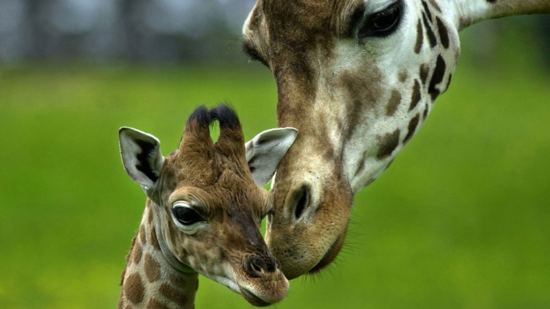 Giraffe Animals Baby Animals Long Neck 4K HD Wallpaper