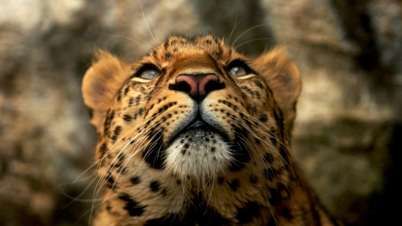Leopard Animals Blue Eyes Yellow Fur 4K HD Wallpaper
