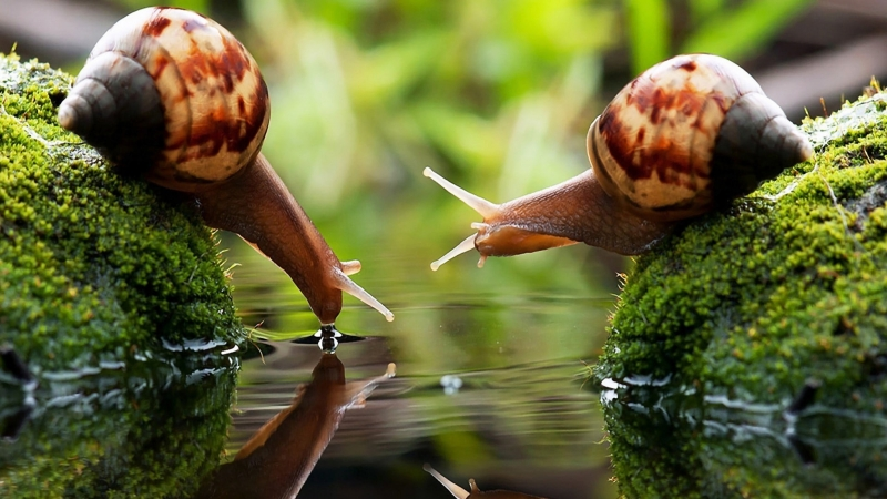 Two Brown Snails On Algae Covered Stones Drink 4K HD Wallpaper