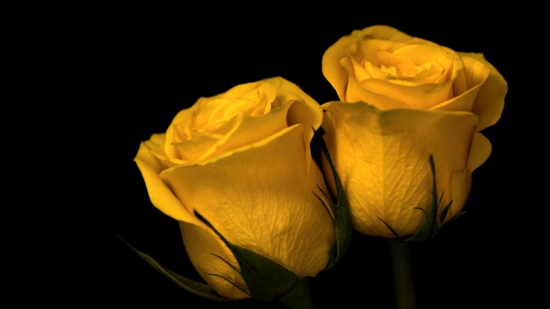 Two Yellow Roses Nature Plants Flowers 4K HD Wallpaper