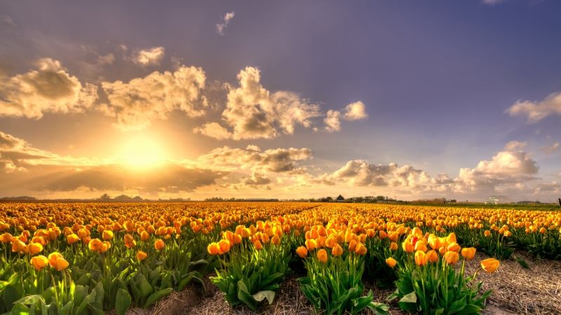 Yellow Tulip Flowers Field At Sunset Holland Rich Pure Gold 4K HD Wallpaper