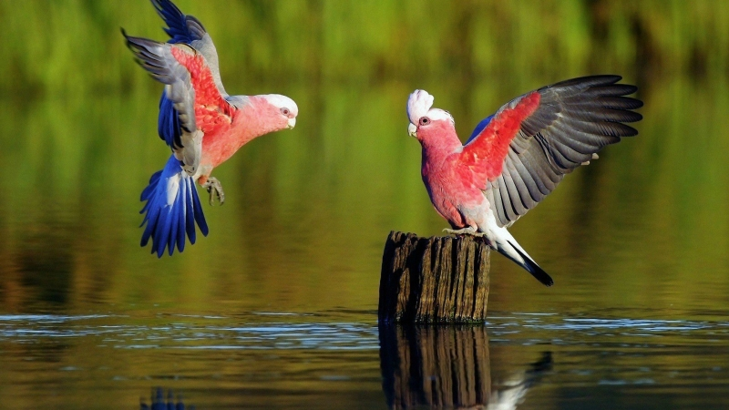 Parrots Lake Forest HD Wallpaper