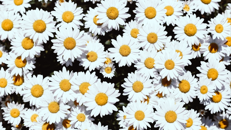 Chamomile Flowers White Bloom Plants 4K HD Wallpaper