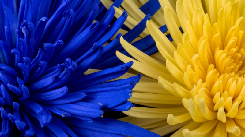 Flowers Blue Yellow Petals 4K HD Wallpaper