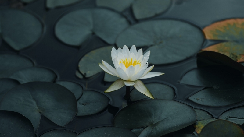 Lotus Petals Leaves 4K HD Wallpaper