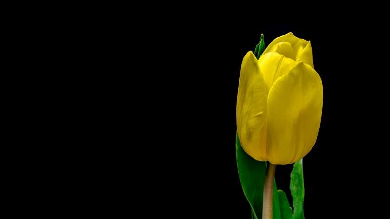 Tulip Flower Yellow Plant Petals 4K HD Wallpaper