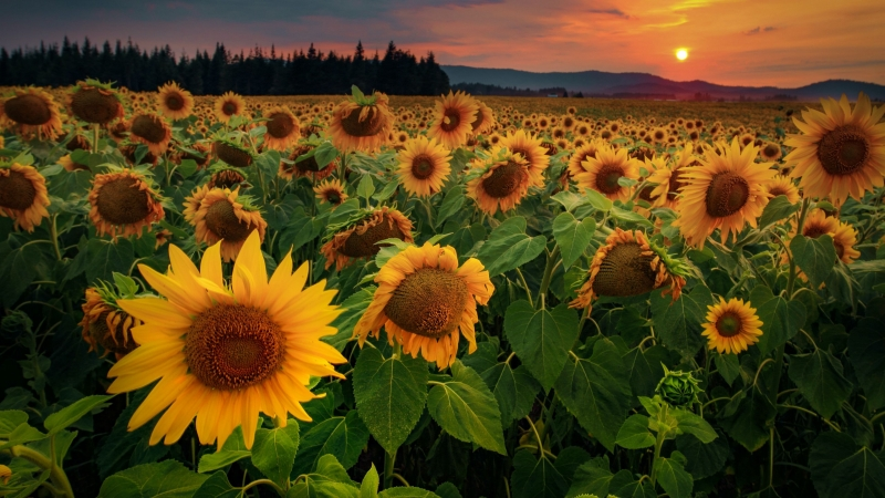Sunflowers Flowers Field Forest 4K HD Wallpaper
