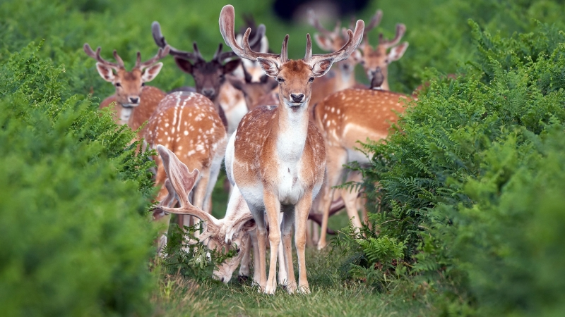 Animal Deer HD Wallpaper