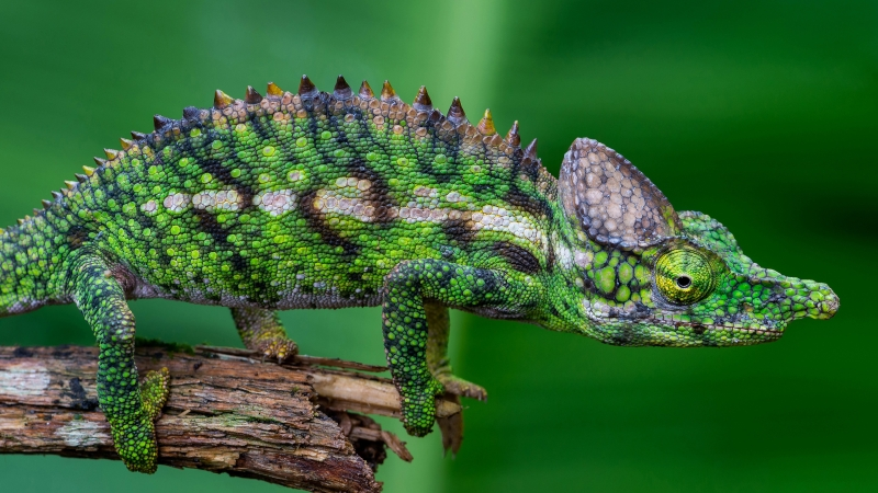 Animal Chameleon Forest 4K HD Wallpaper