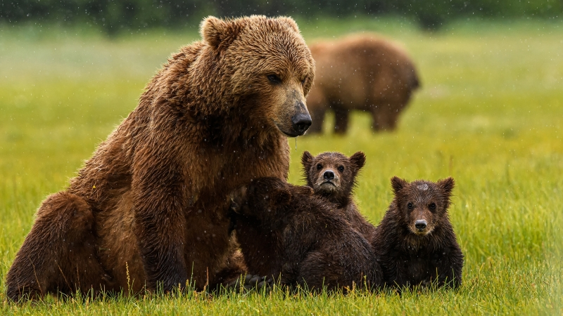 Animal Bear With Cubs 4K HD Wallpaper