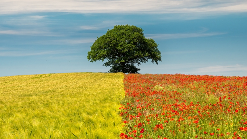 Dual Colour Field In Solo Tree During Daytime 4K HD Wallpaper