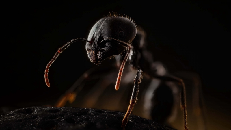 Animal Ant 4K 5K HD Animals Wallpaper