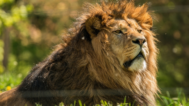 Animal Lion 2 4K HD Animals Wallpaper