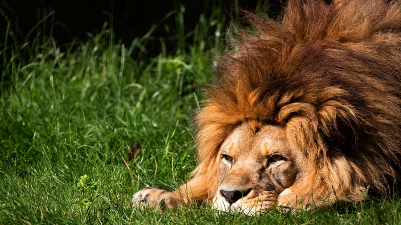 Animal Lion 4K 5K HD Animals Wallpaper