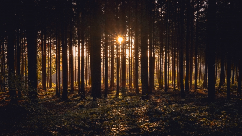 Sunlight Passing Through Dark Trees In Forest During Sunset Time 4K HD Nature Wallpaper