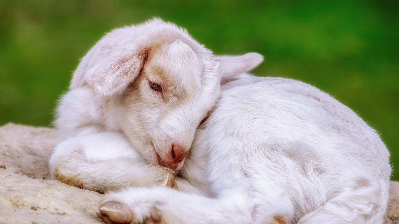 Animal Goat 4K 4K 5K HD Animals Wallpaper