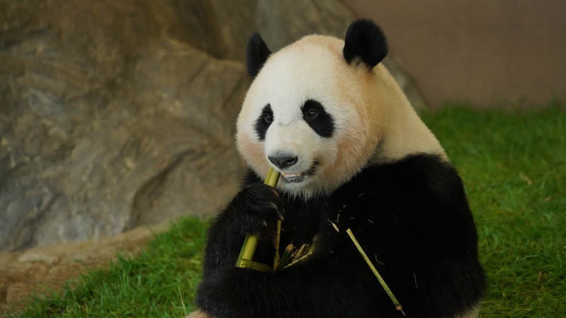 Animal Panda 1 4K HD Animals Wallpaper