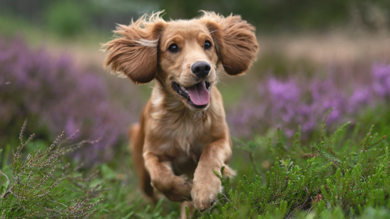 Animal Spaniel 4K HD Animals Wallpaper