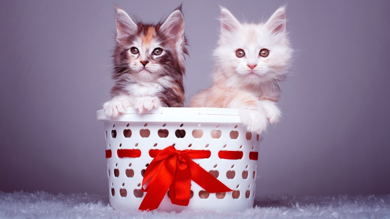 Animals Cat 1 4K HD Animals Wallpaper