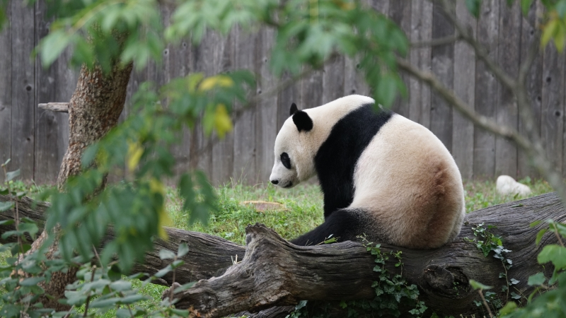 Animal Panda 2 4K HD Animals Wallpaper