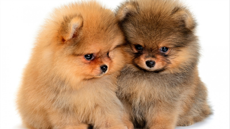 Animal Spitz 4K 5K HD Animals Wallpaper