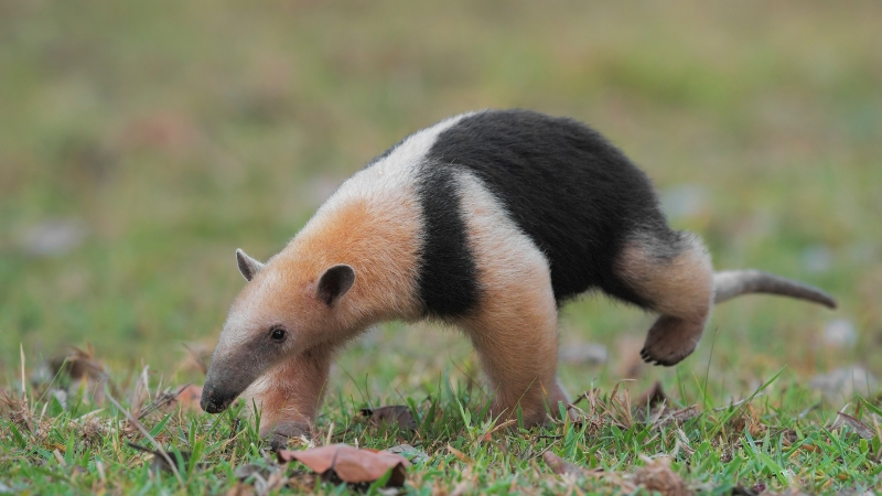 Anteater Is Walking On Green Grass In Blur Green Background HD Animals Wallpaper