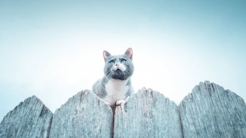 Ash White Chubby Cat Is Sitting On Top Of Wood Fence HD Cat Wallpaper