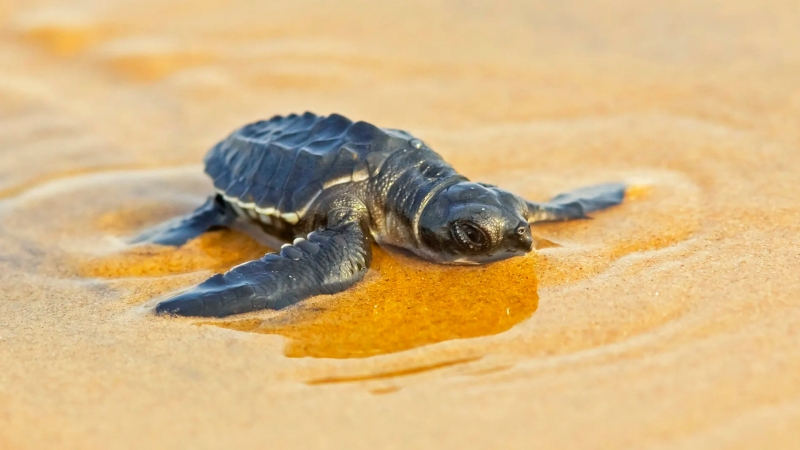 Baby Animal Reptile Sand Sea Turtle HD Animals Wallpaper