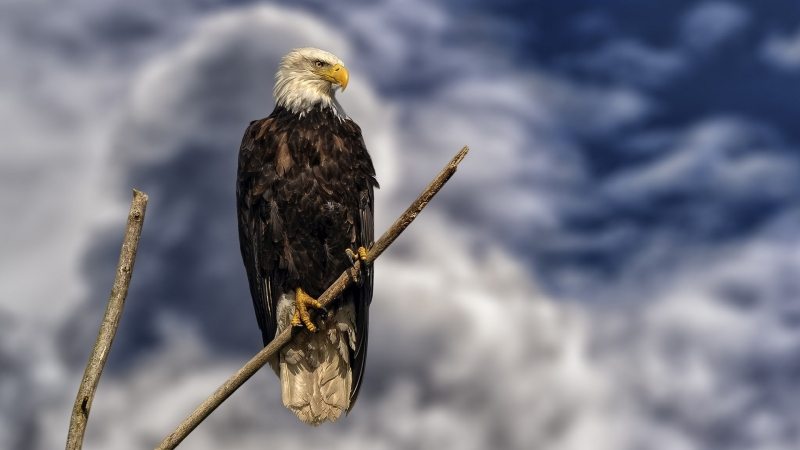 Bald Eagle Bird Of Prey Eagle HD Birds Wallpaper