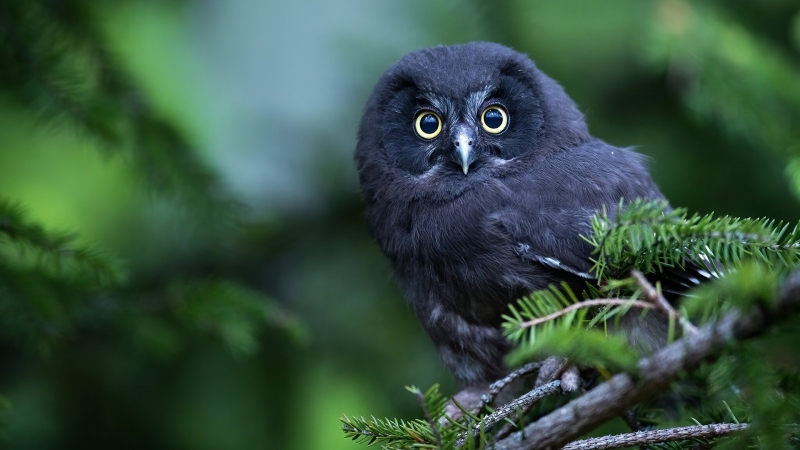 Black Owl In Blur Green Background Is Standing On Tree Branch HD Owl Wallpaper