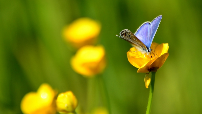 Brown Blue Butterfly Is Standing On Yellow Flower In Blur Green Background 4K HD Butterfly Wallpaper